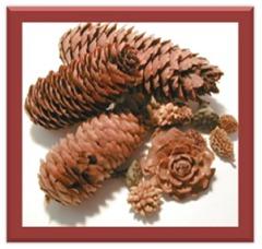 pinecones2 2